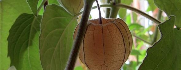 Vergessene Gemüse, Bordeaux, Kapstachelbeere
