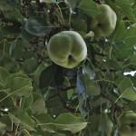Palabirne - Spezialität des Vinschgau