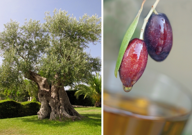 Olivenölbaum, Olivenöl, Qualität Olivenöl
