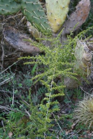 asparago selvatico2