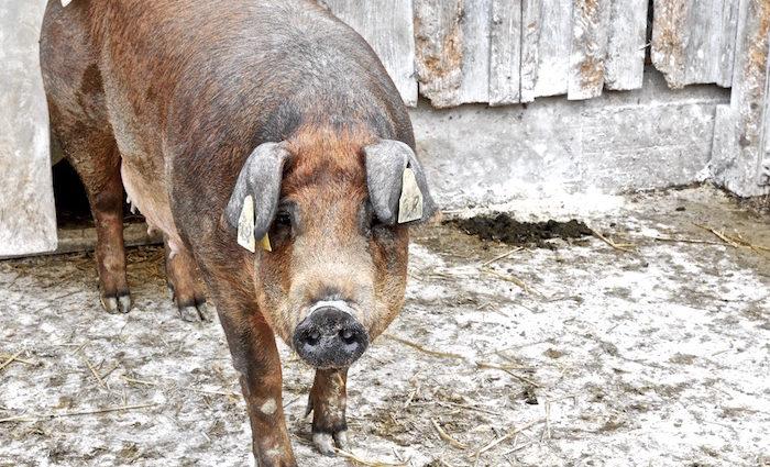 Das Schwein ganz fein: Duroc. Bio-Zucht aus Bayern.