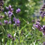 Klassiker des Kräutergartens: Lavendel. Tipps und Rezepte