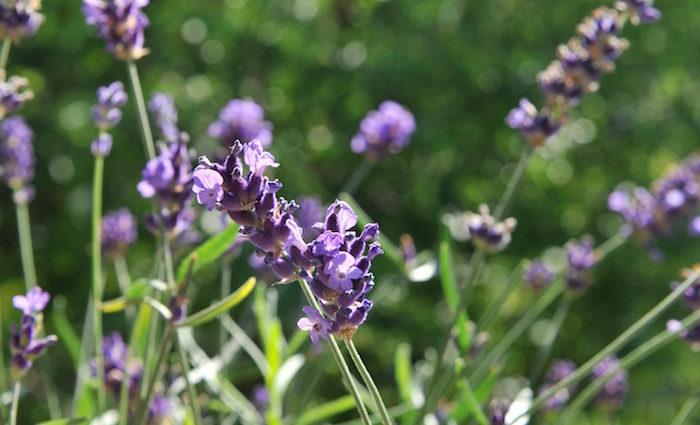 Lavendel Gimlet