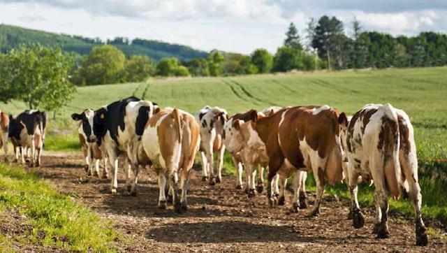 Der Sundgau. Feinste Fleischprodukte vom Simmentaler Rind