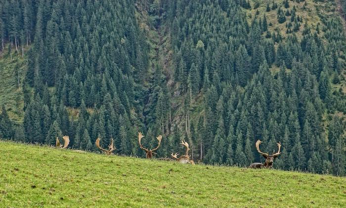 Hirsch Wild Wald