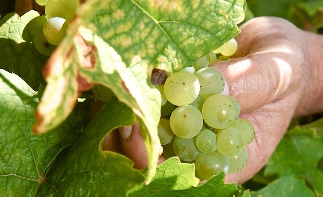 Koscherer Wein, Foto Foodhunter