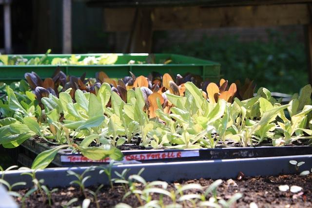 Wesemann, alte Salatsorten, Foto Foodhunter