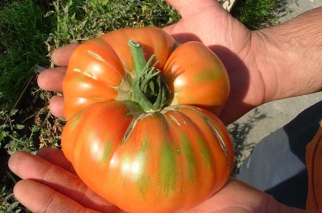 Minus, Martina, Mr. Stripey. Hier kommt die Tomate!