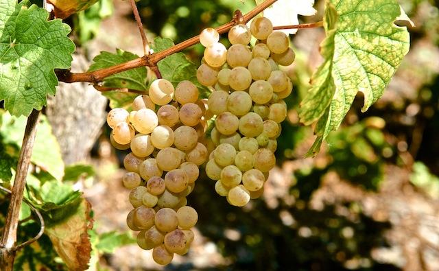Verjus oder Agrest – Traubensaft als Alternative zum Essig