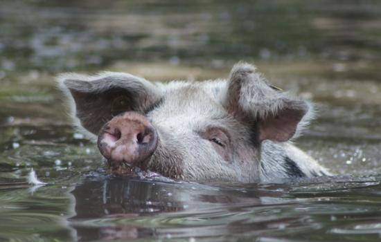 Arche Warder: Turopolje Schwein, Englisches Parkrind und Brakelhuhn