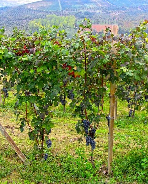 Monferrato, Trauben Piemont, foodhunter