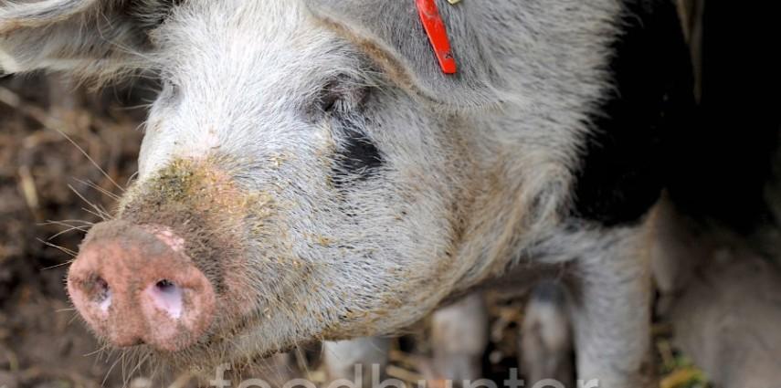 Bentheimer Bio-Schwein