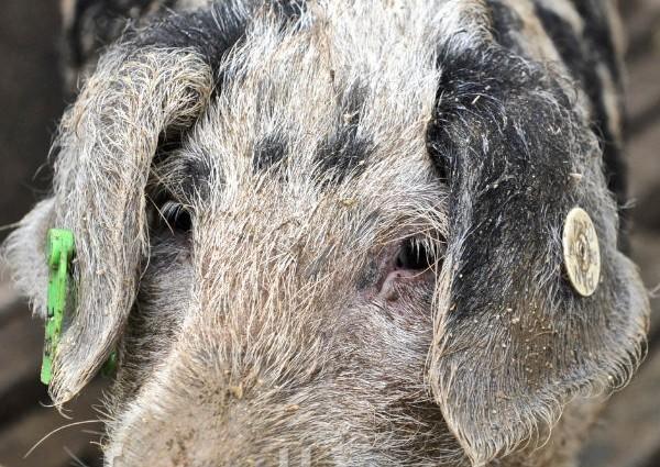 Wollschwein Bio-Zucht