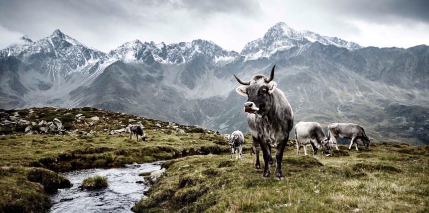 Die Kühe der Welt. Unberührte Schönheit