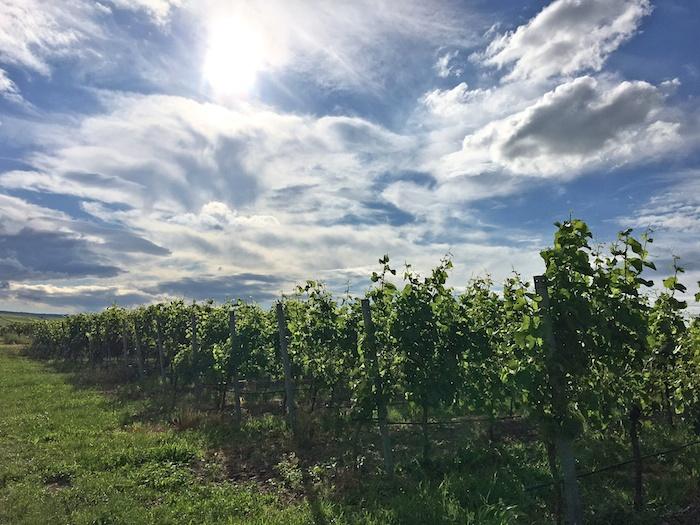 Pfalz, Weinberge Pfalz, Wein Pfalz