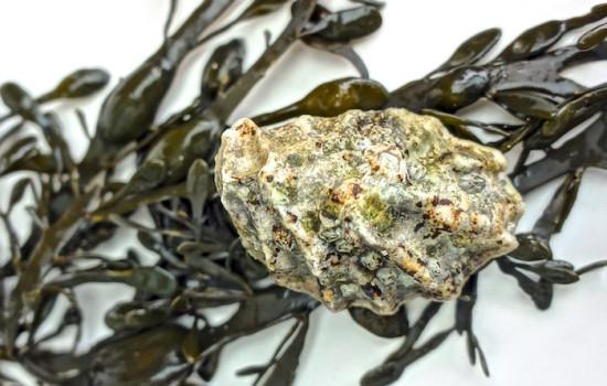 Wilde Austern von Amrum: eine kulinarische Perle