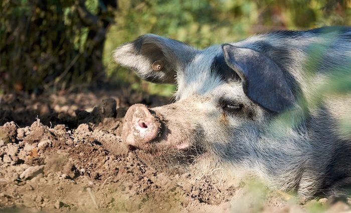 Potsdamer SauenHain - Schwein gehabt!