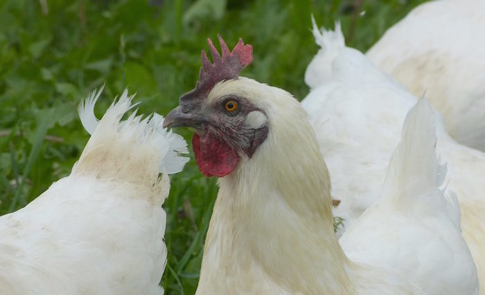 Nachhaltige Zucht, nachhaltiger Geschmack - Huhn aus Deutschland