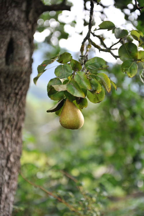 Rauchkuchl – Birnbaum im Garten